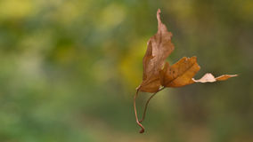 Dance leaves. Autumn, the dance of falling leaves in the woods Stock Photos