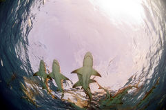A Dance of Lemon Sharks Royalty Free Stock Photography