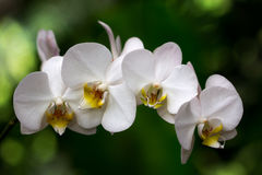 Dance of orchid. Portrait of orchdaceae flower. Photography of nature Stock Images