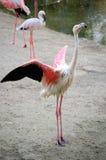 Dance of pink flamingo Stock Photos