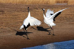 Dance of the red-crowned crane birds Stock Photo