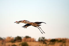 Dance Of The Sandhill Cranes Stock Photography