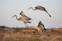 Dance Of The Sandhills. Sandhill Cranes landing in a field Royalty Free Stock Image
