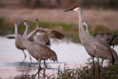 Dance Of The Sandhills. Sandhill Cranes in a pond Royalty Free Stock Photos