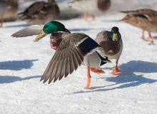 Dance in the snow. Duck on snow close up in winter Stock Photos