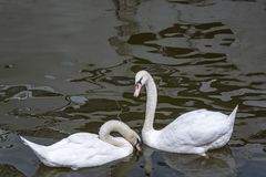Dance of white swans, dance of love royalty free stock images