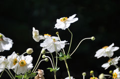 Dancing Anemones 2. Japanese white Anemones dancing in the sun against a black background. Ideal background picture for a purity or happiness theme Royalty Free Stock Photography