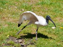 A dancing Australian white Ibis in a park Stock Photos
