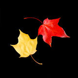 Dancing autumn leaves. Bright maple leaves against black background royalty free stock photos