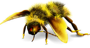 Dancing bee. A black and yellow stripped dancing honey bee Royalty Free Stock Photo
