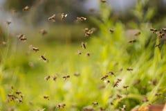 Dancing bees Royalty Free Stock Photo