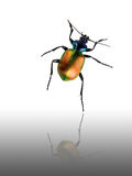 Dancing Beetle. A Gold Beetle dancing over a white and gray gradient background stock photo