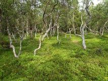 Dancing birches on the Big Solovki island, Russia Stock Image