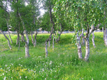 Dancing birches on Solovetsky islands Royalty Free Stock Photos