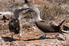 Dancing Blue-Footed Boobies Royalty Free Stock Image