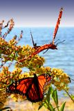 Dancing butterflies. Admiral butterflies flying around flowers with an ocean background Stock Photos