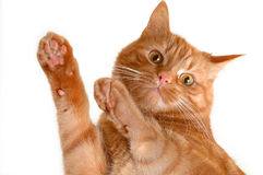 Dancing cat Stock Images