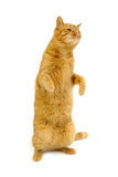 Dancing cat Stock Image