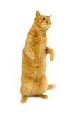 Dancing cat Stock Image