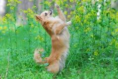 Dancing Chihuahua Stock Photo