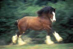 Dancing Clydesdale horse, St. Louis, MO Stock Photo