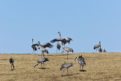 Dancing Common Cranes Royalty Free Stock Photos