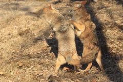 Dancing coyotes Stock Image