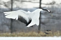 Dancing Crane. The red-crowned crane also called the Japanese crane or Manchurian crane. Royalty Free Stock Image