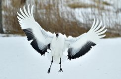 Dancing Crane. The red-crowned crane also called the Japanese crane or Manchurian crane. Royalty Free Stock Photo
