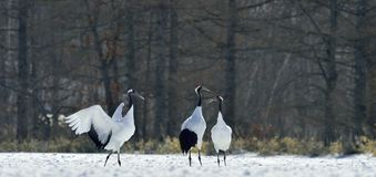 Dancing Cranes. The red-crowned crane also called the Japanese crane or Manchurian crane. Royalty Free Stock Image