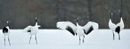 Dancing Cranes. The red-crowned crane Sceincific name: Grus japonensis, also called the Japanese crane. Stock Photos