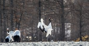Dancing Cranes. The ritual marriage dance of cranes. The red-crowned crane . Scientific name: Grus japonensis, also called the stock image