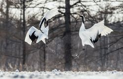 Dancing Cranes. The ritual marriage dance of cranes. The red-crowned crane . Scientific name: Grus japonensis, also called the stock photos