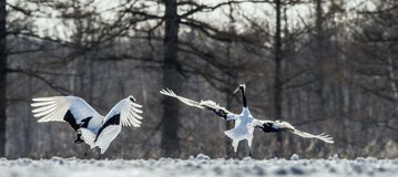 Dancing Cranes. The ritual marriage dance of cranes. The red-crowned crane . Scientific name: Grus japonensis, also called the stock photography