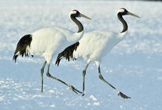 Free Dancing Cranes. The Red-crowned Crane Also Called The Japanese Crane Or Manchurian Crane. Royalty Free Stock Photos - 111559188