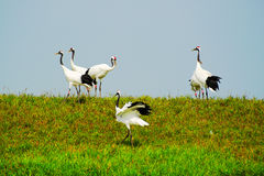 Dancing of crowned cranes Stock Photography