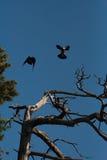 Dancing crows Royalty Free Stock Image