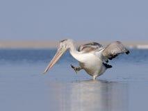 Dancing Dalmatian Pelican Stock Image