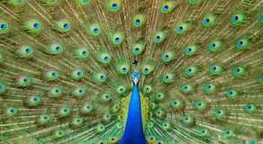 Dancing del pavone Fotografie Stock Libere da Diritti