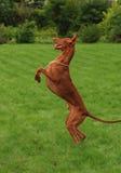 Dancing del segugio del Pharaoh su un'erba verde Fotografia Stock Libera da Diritti