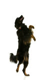 Dancing dog Royalty Free Stock Photo