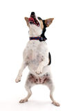 Dancing Dog. Happy little dog dancing over white background Stock Photos