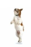 Dancing Dog Royalty Free Stock Image