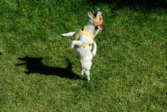 Dancing dog. Jack Russell Terrier pet dancing on a lawn Stock Photography