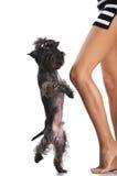 Dancing dog and woman Stock Image