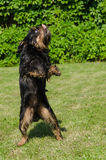 The dancing doggie. The black dog on a green lawn on back pads dances Break-dance Stock Photography