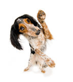 Dancing doggy. Cute little dog is doing a dance while waving with it's paw Stock Photos