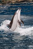 Dancing Dolphin. A Pacific White Sided Dolphin performs a vertical dance routine Royalty Free Stock Image