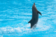 Dancing dolphin Royalty Free Stock Photography