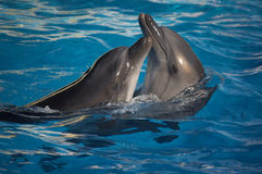 Dancing dolphins royalty free stock images